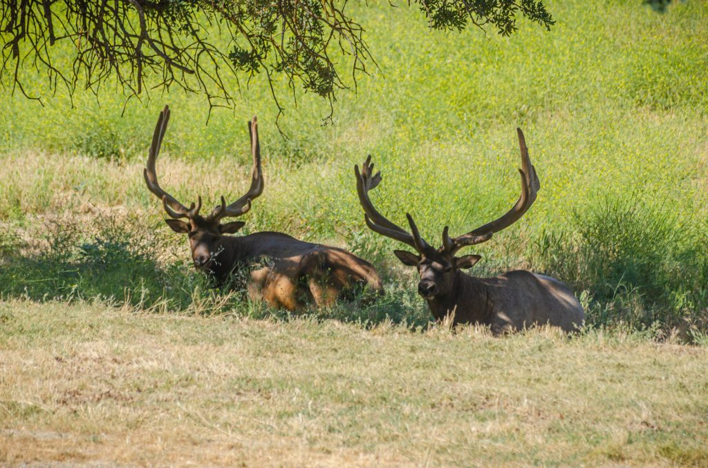 elk-bucks-7192019-3