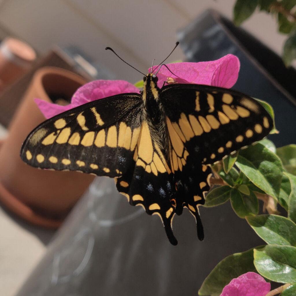 mranch-butterfly